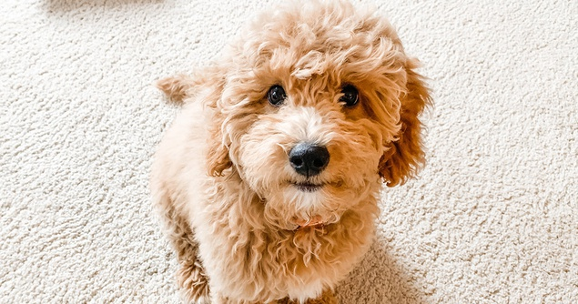 What Getting A Puppy Really Costs